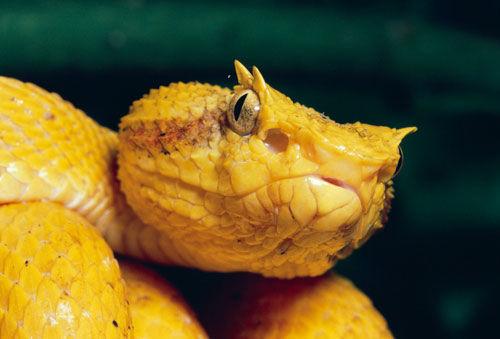 金色眼睫蝰蛇