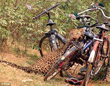 饥饿猎豹入城寻食致三人受伤 遭人群围攻(图)