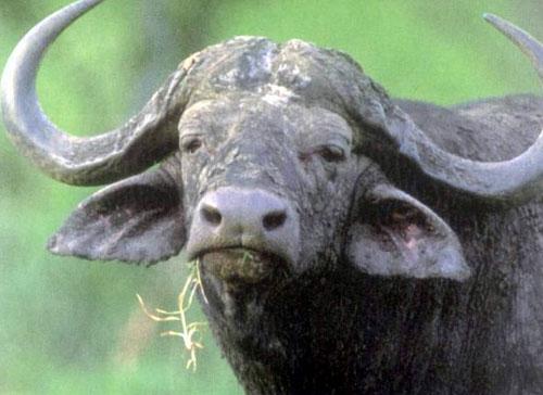 非洲草原上体型最大的动物之一,成年水牛身高可达6英尺(1