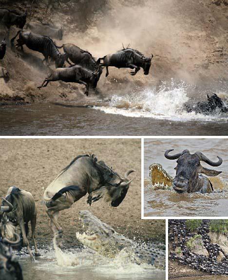 十大动物迁徙奇迹