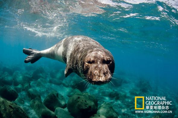 葡萄牙 马德拉群岛   僧海豹曾为地中海常见物种,如今却成为世界上濒危程度最严重的海豹种类。20世纪80年代末至今,马德拉群岛保护水域中的僧海豹数量已从6头增加至35头。      欧洲野地奇观      执行本项目的摄影师分头前往欧洲各个角落,完成了125项拍摄任务,覆盖多种生态系统,从亚速尔群岛的海洋生态环境,一直到到里海沿岸的森林草原。他们发现一片处于转型期的大陆:城市与农村发展进程吞噬野生栖息地的同时,较贫瘠地区的农田正逐渐还林,为野生动植物繁衍生息提供了新的空间。曾任世界自然基金会欧洲项目主管