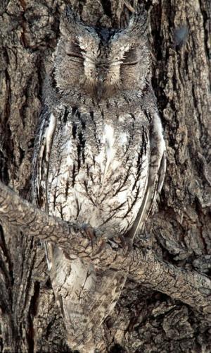 动物伪装大师:奇特鸟类伪装成树皮(图)