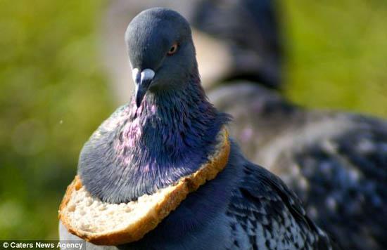 """无奈狮子鬣狗挨饿了头关系""""项链饥饿""""鸽子佩戴面包与斑运气的好过图片"""
