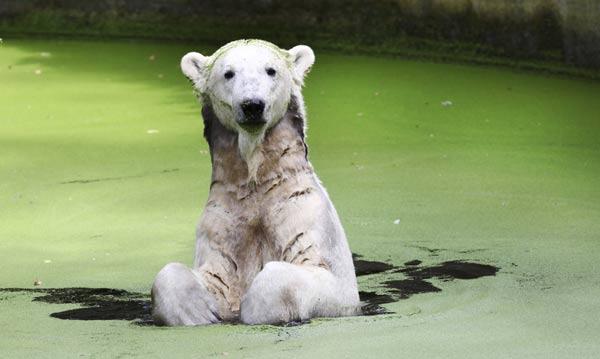 """德明星北极熊动物园中""""自娱自乐""""[组图]"""