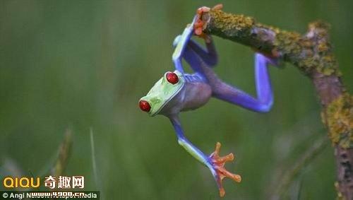 小、形态各异的小家伙.   树蛙在植物茎干上来回摆荡   令人高清图片