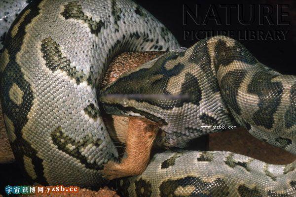 实拍最巨大的凶险非洲岩蟒蛇捕杀吞噬动物的惊悚图片