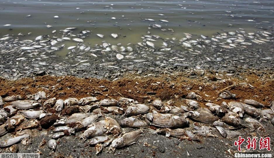 """近日,美国加州沙顿海岸周边堆积着大量死鱼,死鱼造成的""""臭鸡蛋""""味刺鼻"""