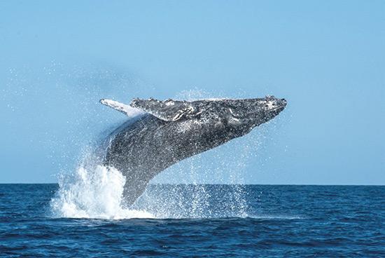 也让我了解到了印度洋观察鲸鱼最好的地点——圣玛丽岛.