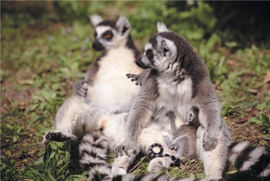 马达加斯加岛之精灵