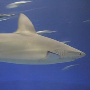 动物界的十大坏妈妈:加拉帕戈斯鲨鱼