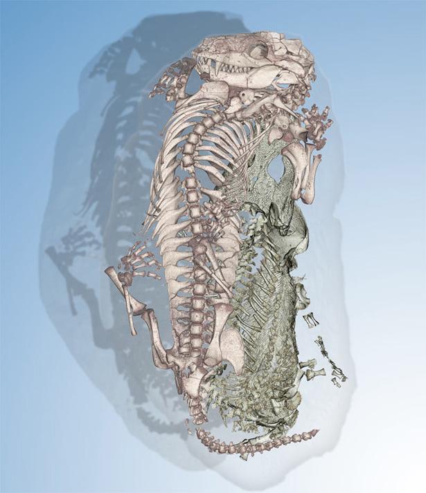 扫描结果显示2.5亿年前一只肋骨断裂的两栖动物爬进沉睡的哺乳动物的洞穴里寻求庇护。   凤凰科技讯北京时间6月26日消息,国外媒体报道,近日科学家在南非发现了一个洞穴里存在两个不太可能共处一室的生物,它们是被2.5亿年前忽然爆发的山洪所掩埋的。这两个怪异的同居者中,一个是寻找避难所的年幼两栖动物,另一个是正在沉睡的犬齿兽亚目,后者被认为是哺乳动物的遥远祖先,研究人员这样说道。      这一洞穴出土于南非干旱台地高原,后者属于三叠纪早期古代超级大陆冈瓦那大陆的一部分。利用位于法国的欧洲同步辐射光源E