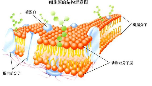 高一生物教案:细胞膜的结构示意图