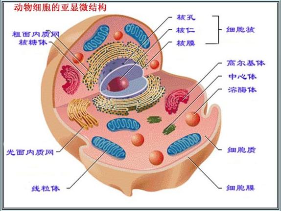 高一生物教案:动物细胞的亚显微结构