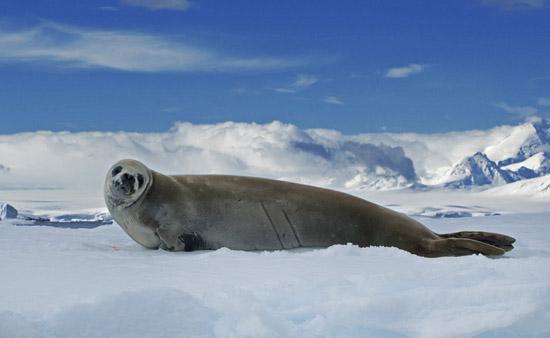 由于海拔高,空气稀薄,再加上冰雪表面对太阳辐射的反射等,使得南极大陆成为世界上最为寒冷的地区,其平均气温比北极要低20。南极大陆的年平均气温为-25。南极沿海地区的年平均温度为-17~-20左右;而内陆地区的年平均温度则为-40~-50;东南极高原地区最为寒冷,年平均气温低达-57。地球上观测到的最低气温为摄氏-89.
