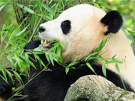 竹子并非大熊猫最理想食物